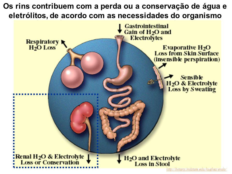 A manutenção do meio interno pelos rins O equilíbrio entre a perda e a ingestão de água