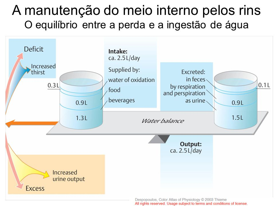 A manutenção do meio interno pelos rins O equilíbrio entre a perda e a ingestão de água adaptado de Fisiologia: texto e atlas , Silbernagl e Despopoulos, 2003