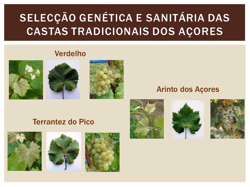 SELECÇÃO GENÉTICA E SANITÁRIA DAS CASTAS TRADICIONAIS DOS AÇORES Verdelho Arinto dos Açores Terrantez do Pico