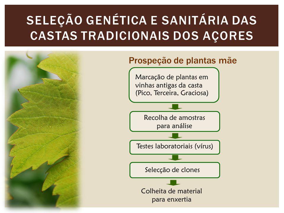 SELEÇÃO GENÉTICA E SANITÁRIA DAS CASTAS TRADICIONAIS DOS AÇORES Prospeção de plantas mãe
