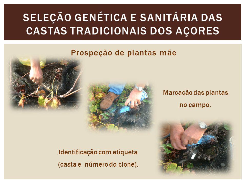 SELEÇÃO GENÉTICA E SANITÁRIA DAS CASTAS TRADICIONAIS DOS AÇORES Prospeção de plantas mãe Marcação das plantas no campo.