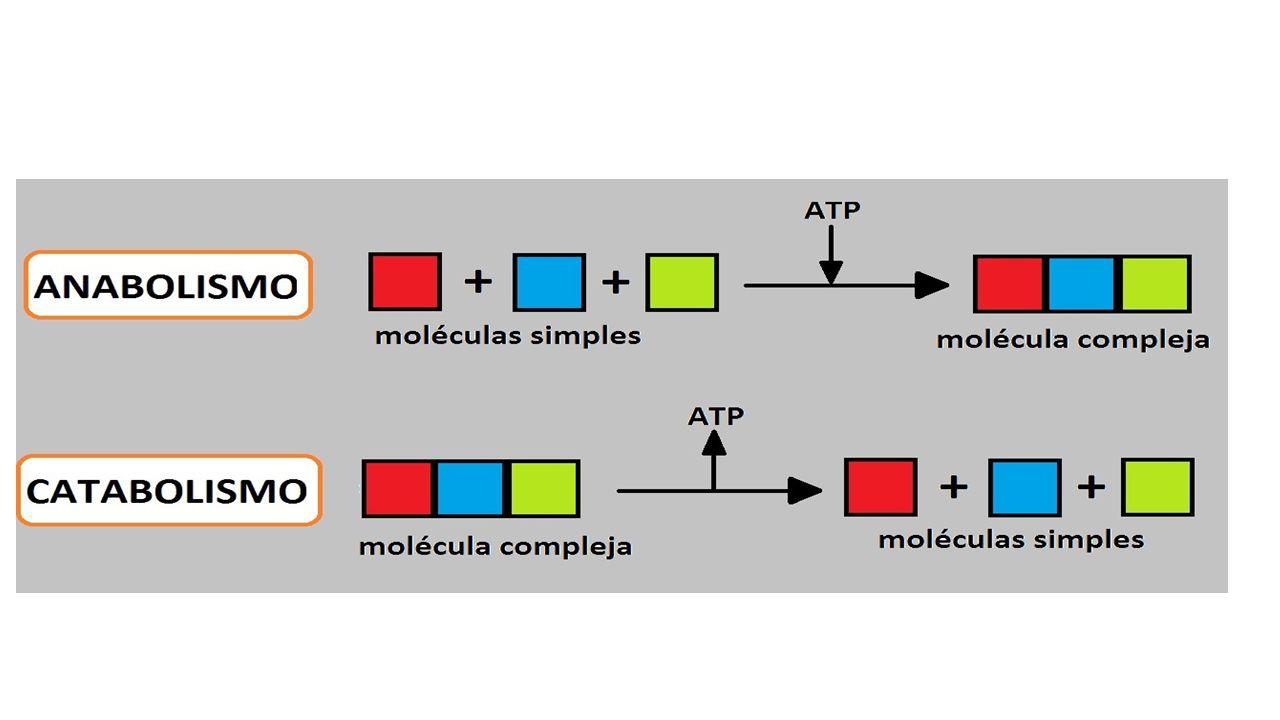 Ex: de processo anabólico: fotossíntese