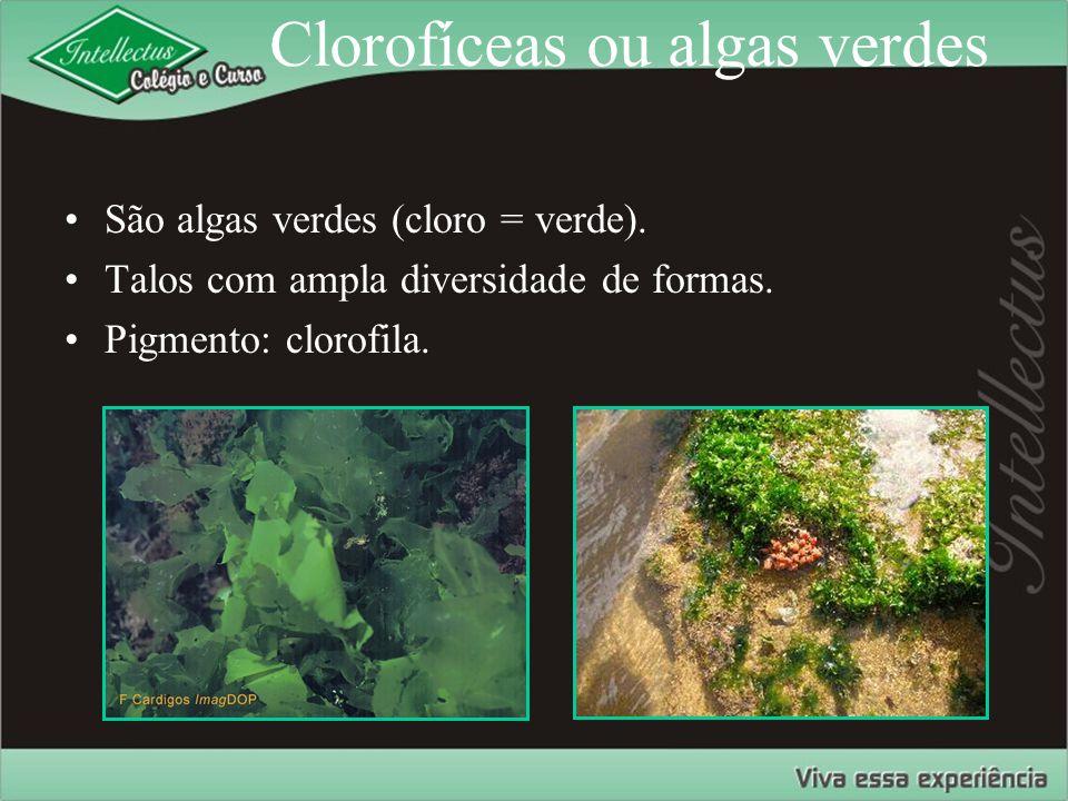 Clorofíceas ou algas verdes São algas verdes (cloro = verde). Talos com ampla diversidade de formas. Pigmento: clorofila.