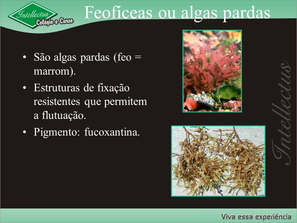 Feofíceas ou algas pardas São algas pardas (feo = marrom). Estruturas de fixação resistentes que permitem a flutuação. Pigmento: fucoxantina.