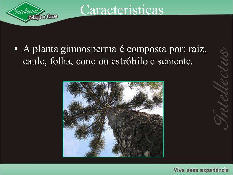Características A planta gimnosperma é composta por: raiz, caule, folha, cone ou estróbilo e semente.