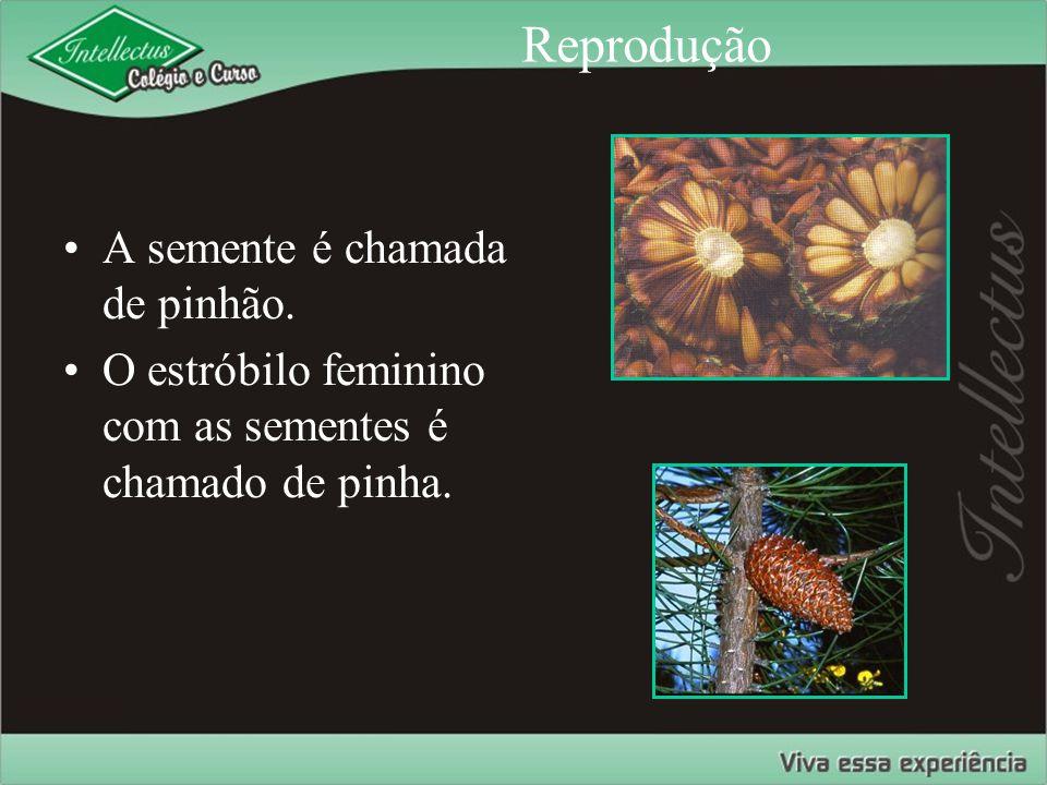 Reprodução A semente é chamada de pinhão. O estróbilo feminino com as sementes é chamado de pinha.