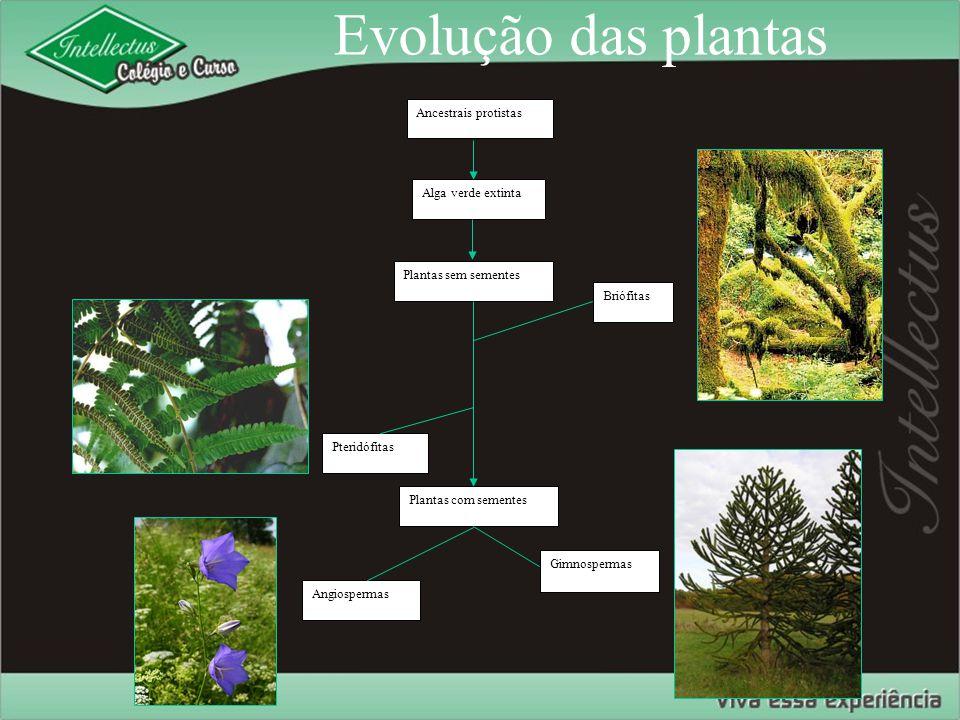 Evolução das plantas Ancestrais protistas Alga verde extinta Plantas sem sementes Briófitas Pteridófitas Angiospermas Gimnospermas Plantas com semente