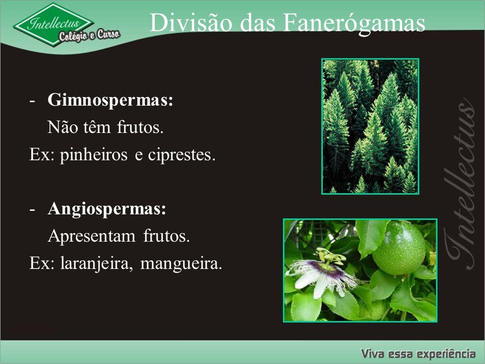 Divisão das Fanerógamas -Gimnospermas: Não têm frutos. Ex: pinheiros e ciprestes. -Angiospermas: Apresentam frutos. Ex: laranjeira, mangueira.