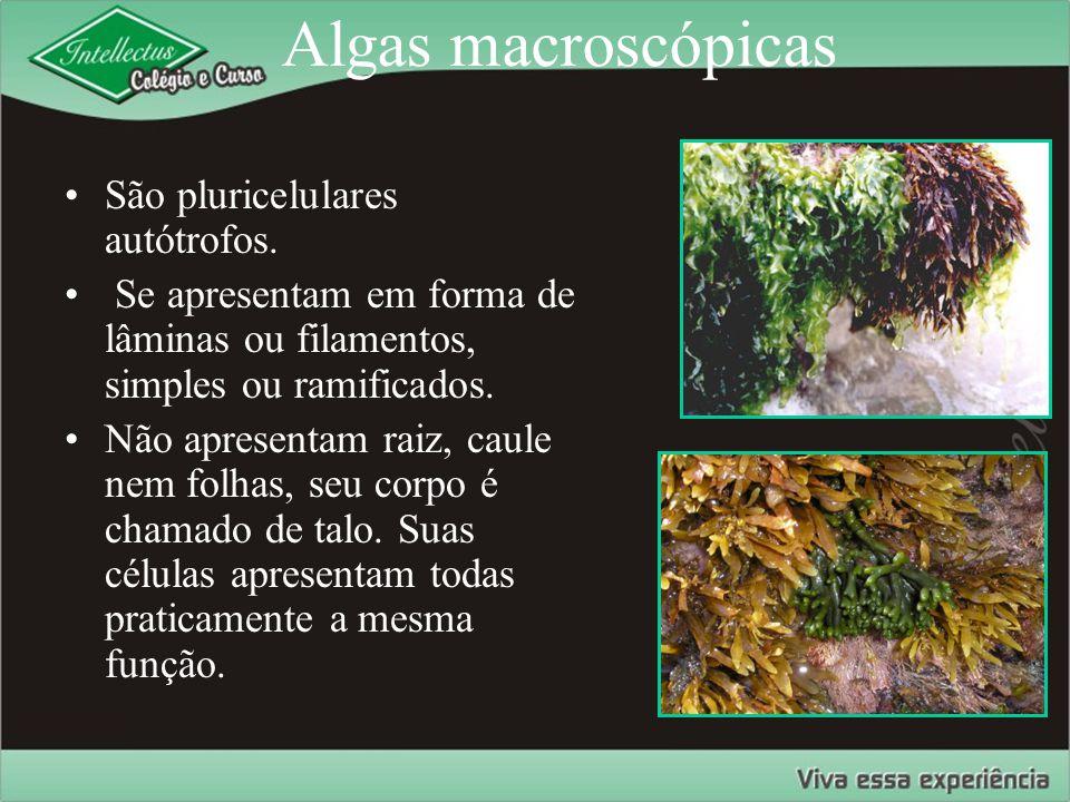 Ciclo de vida O gametófito é verde, vive mais tempo, faz fotossíntese e produz gametas (REPRODUÇÃO SEXUADA).