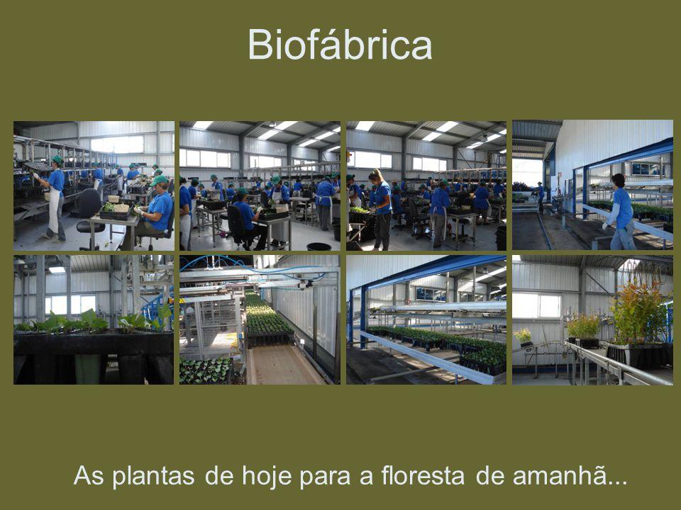As plantas de hoje para a floresta de amanhã... Biofábrica