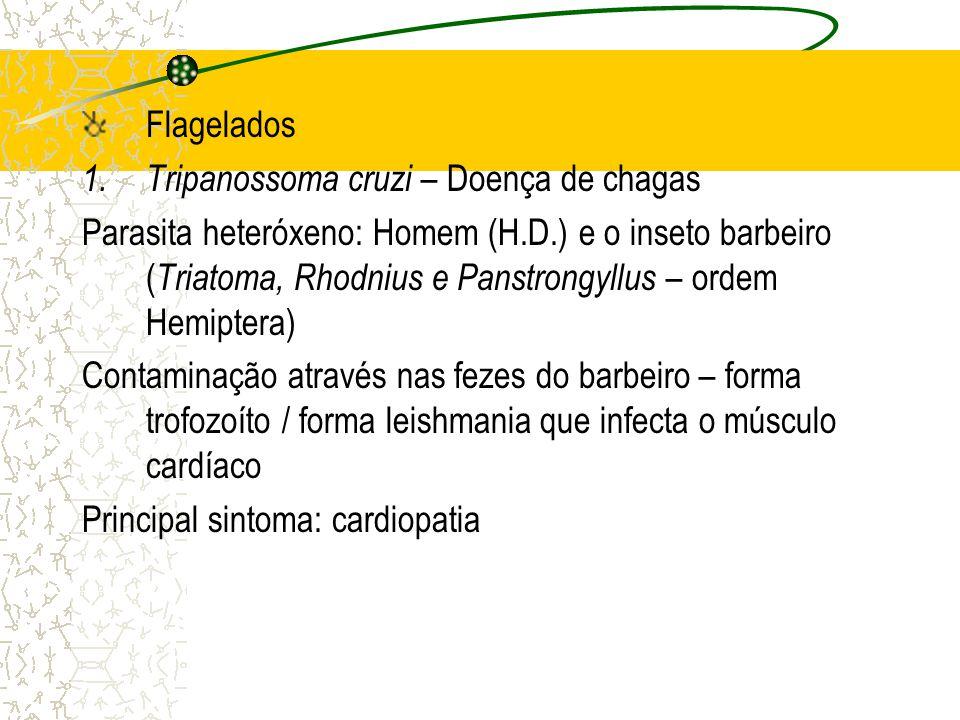 Flagelados 1.Tripanossoma cruzi – Doença de chagas Parasita heteróxeno: Homem (H.D.) e o inseto barbeiro ( Triatoma, Rhodnius e Panstrongyllus – ordem Hemiptera) Contaminação através nas fezes do barbeiro – forma trofozoíto / forma leishmania que infecta o músculo cardíaco Principal sintoma: cardiopatia