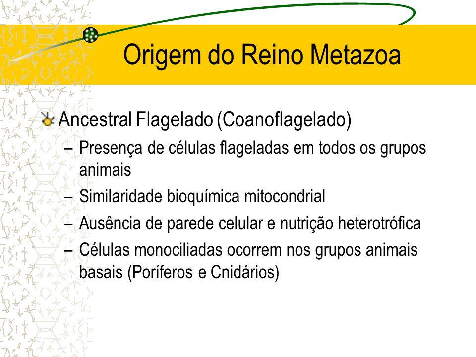 Origem do Reino Metazoa Ancestral Flagelado (Coanoflagelado) –Presença de células flageladas em todos os grupos animais –Similaridade bioquímica mitocondrial –Ausência de parede celular e nutrição heterotrófica –Células monociliadas ocorrem nos grupos animais basais (Poríferos e Cnidários)