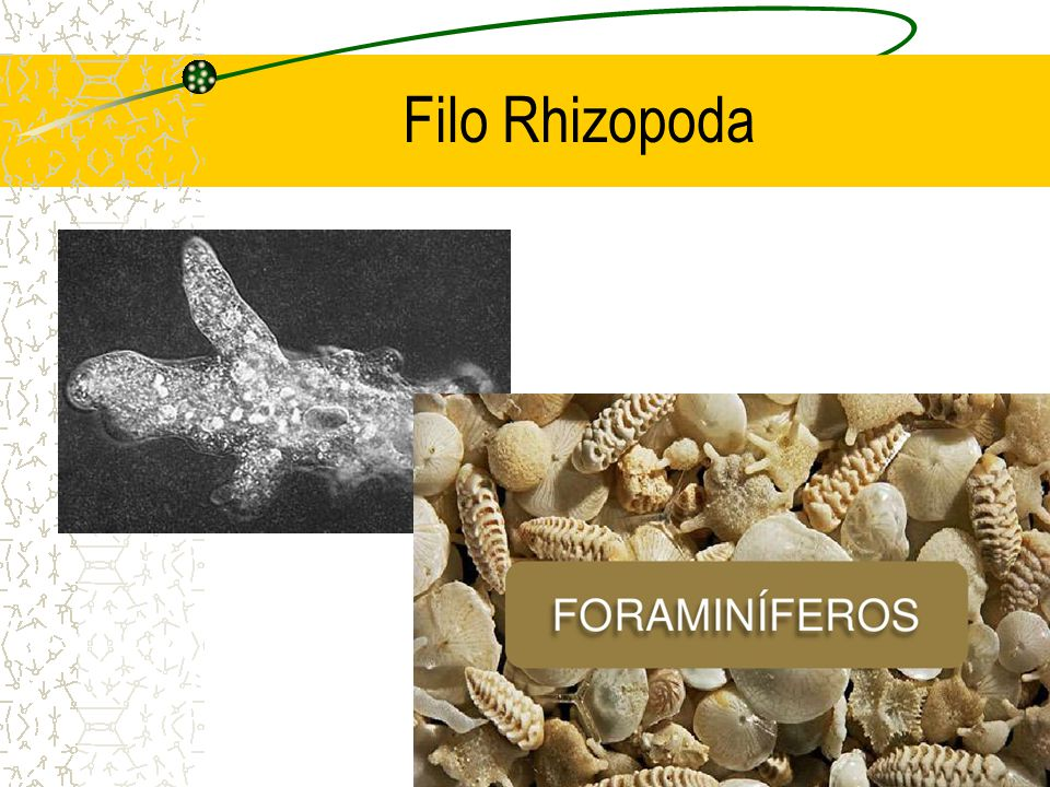 Filo Rhizopoda