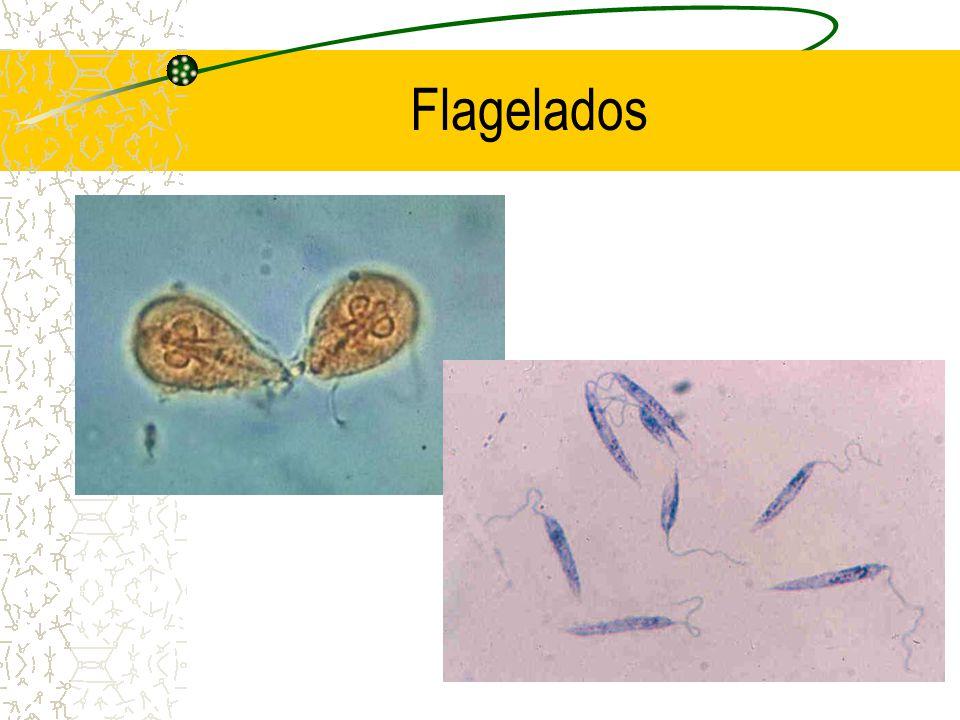 Diferenças entre Flagelados e Ciliados 1.Estrutura de locomoção 2.Forma de reprodução assexuada: cissiparidade transversal em ciliados e longitudinal em flagelados 3.Presença de micro e macro núcleo em ciliados e ausência em flagelados 4.Presença de uma citofaringe em ciliados