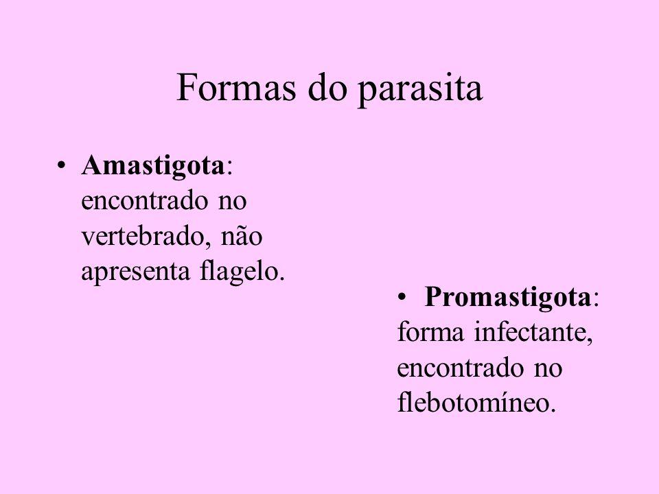Formas do parasita Amastigota: encontrado no vertebrado, não apresenta flagelo. Promastigota: forma infectante, encontrado no flebotomíneo.