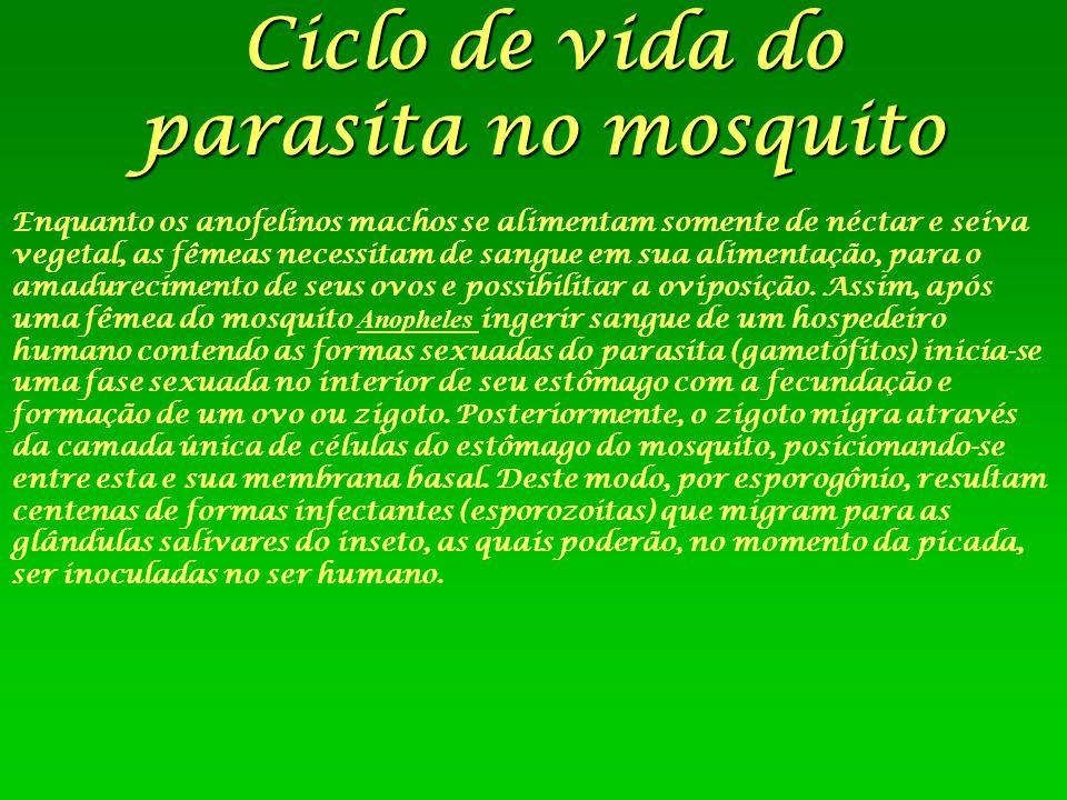 Ciclo de vida do parasita no mosquito Enquanto os anofelinos machos se alimentam somente de néctar e seiva vegetal, as fêmeas necessitam de sangue em