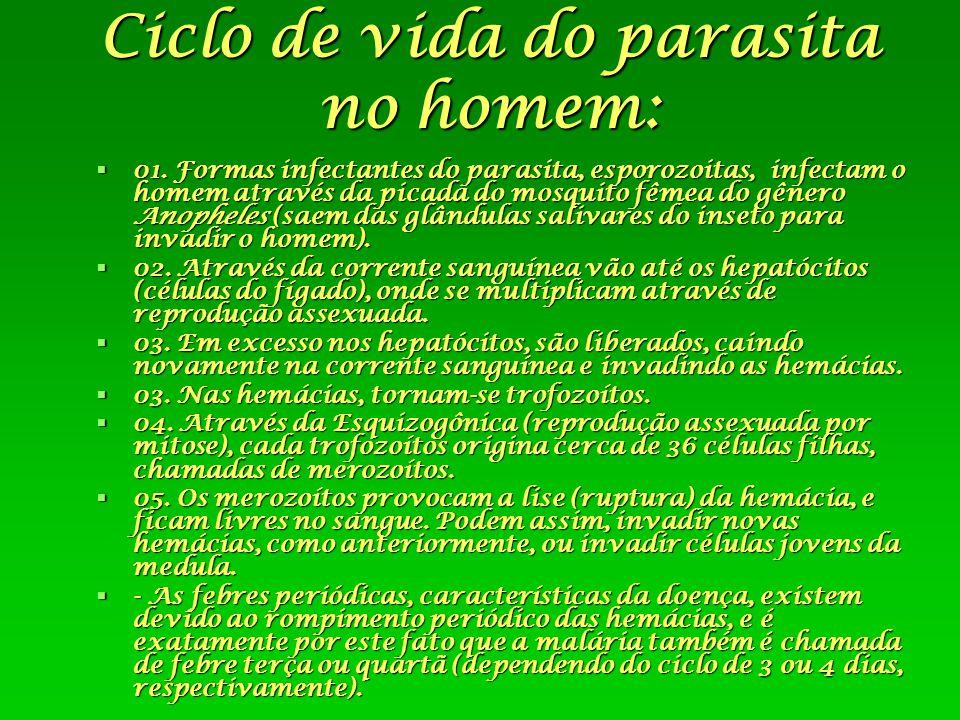 Ciclo de vida do parasita no homem:  01. Formas infectantes do parasita, esporozoitas, infectam o homem através da picada do mosquito fêmea do gênero