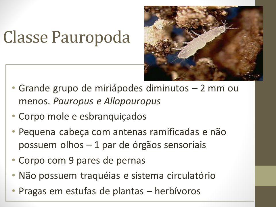 Classe Pauropoda Grande grupo de miriápodes diminutos – 2 mm ou menos. Pauropus e Allopouropus Corpo mole e esbranquiçados Pequena cabeça com antenas