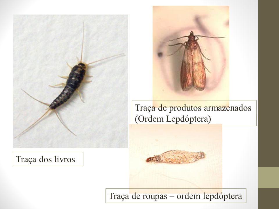 Traça dos livros Traça de roupas – ordem lepdóptera Traça de produtos armazenados (Ordem Lepdóptera)