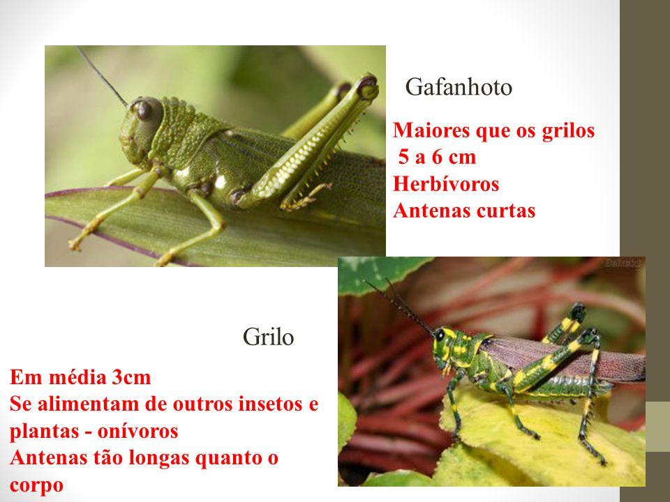 Gafanhoto Grilo Em média 3cm Se alimentam de outros insetos e plantas - onívoros Antenas tão longas quanto o corpo Maiores que os grilos 5 a 6 cm Herb