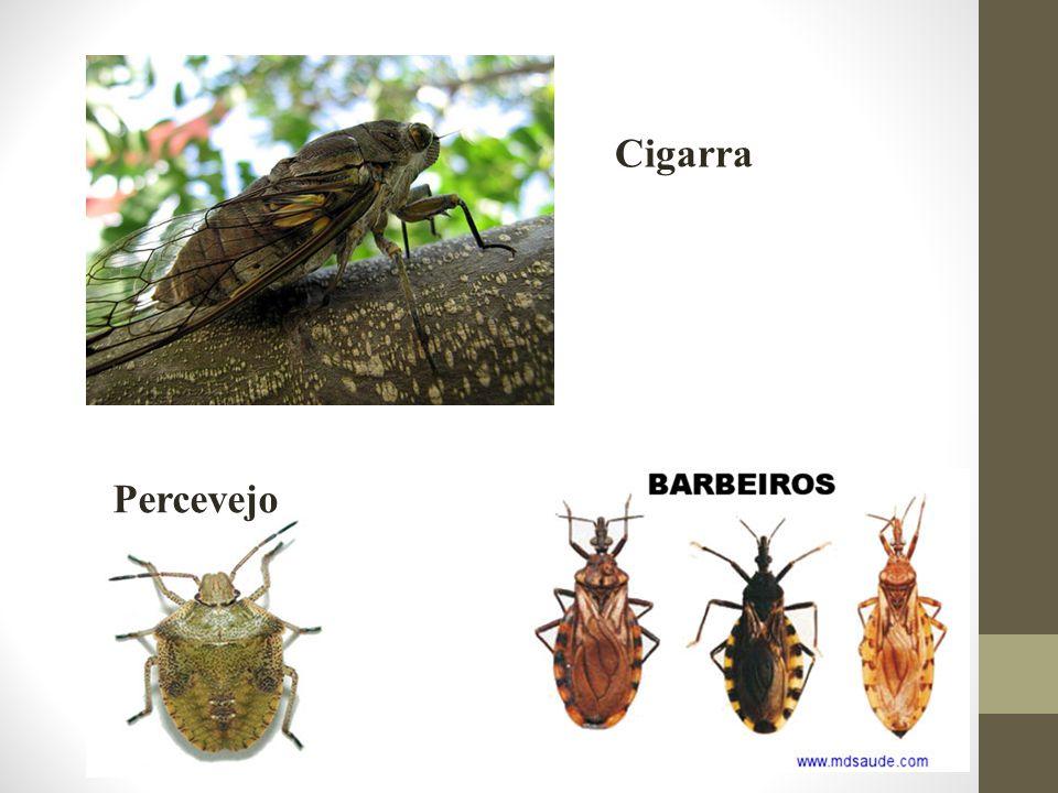 Percevejo Cigarra