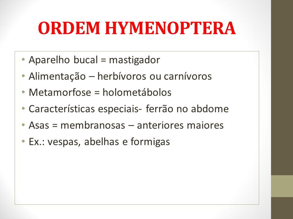 ORDEM HYMENOPTERA Aparelho bucal = mastigador Alimentação – herbívoros ou carnívoros Metamorfose = holometábolos Características especiais- ferrão no