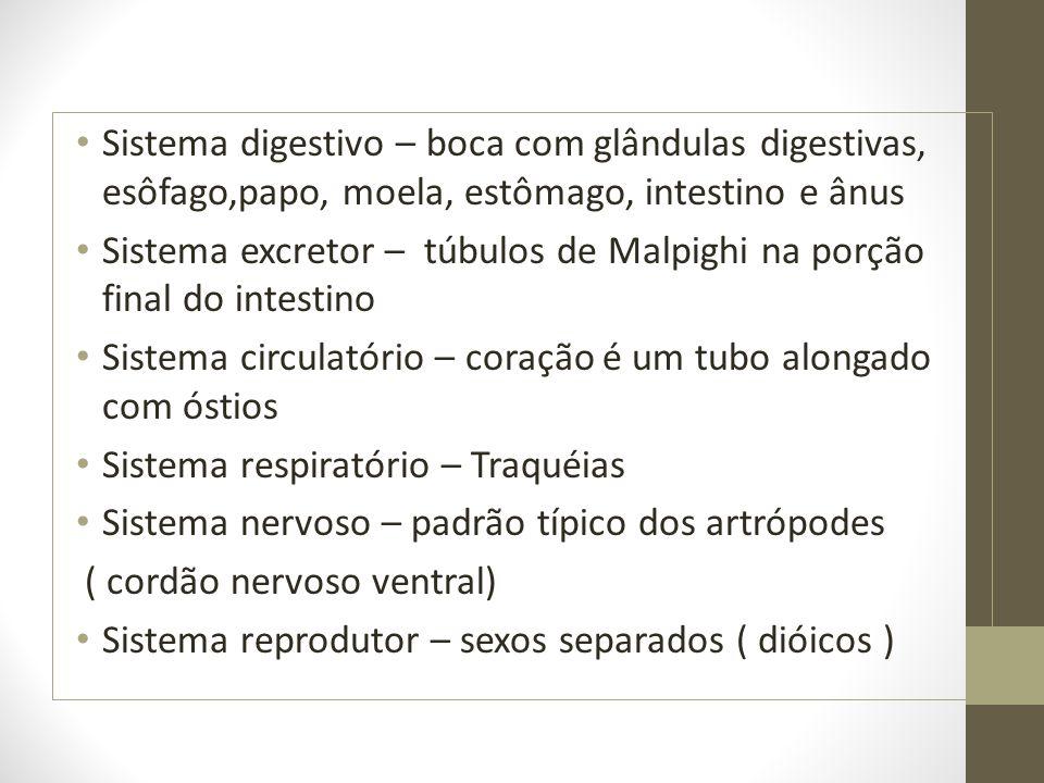 Sistema digestivo – boca com glândulas digestivas, esôfago,papo, moela, estômago, intestino e ânus Sistema excretor – túbulos de Malpighi na porção fi
