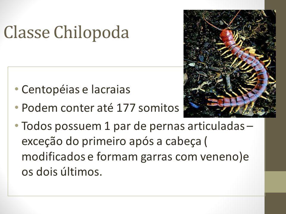 Classe Chilopoda Centopéias e lacraias Podem conter até 177 somitos Todos possuem 1 par de pernas articuladas – exceção do primeiro após a cabeça ( mo
