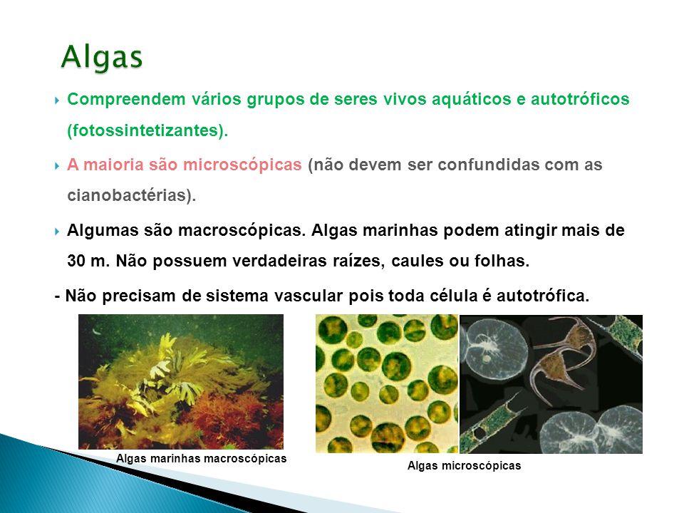  Compreendem vários grupos de seres vivos aquáticos e autotróficos (fotossintetizantes).  A maioria são microscópicas (não devem ser confundidas com