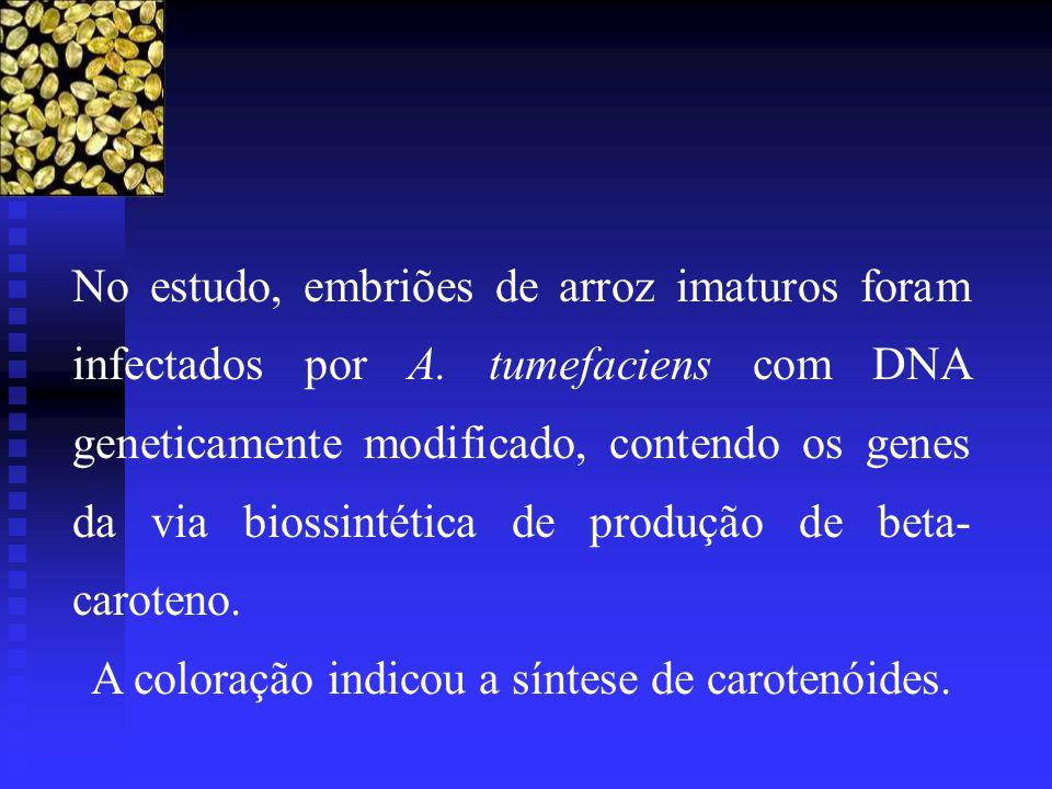 No estudo, embriões de arroz imaturos foram infectados por A. tumefaciens com DNA geneticamente modificado, contendo os genes da via biossintética de