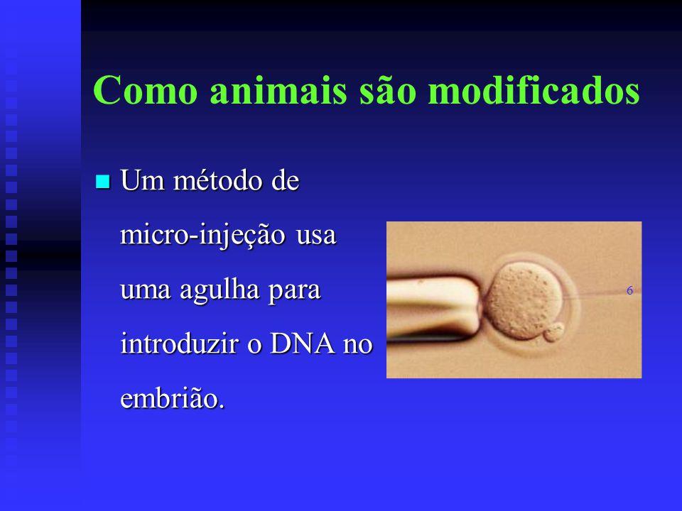 Como animais são modificados Um método de micro-injeção usa uma agulha para introduzir o DNA no embrião. Um método de micro-injeção usa uma agulha par