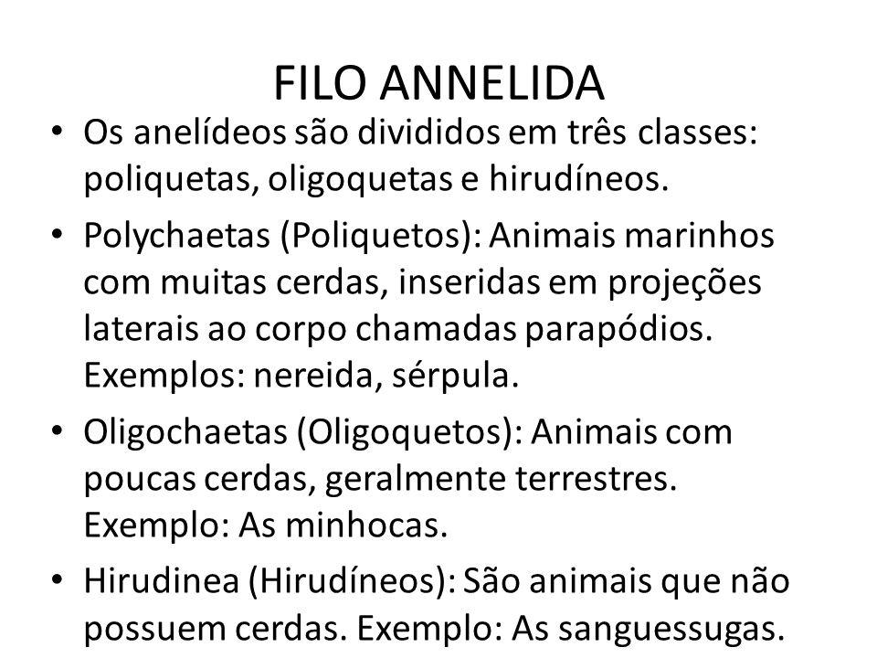 FILO ANNELIDA Os anelídeos são divididos em três classes: poliquetas, oligoquetas e hirudíneos. Polychaetas (Poliquetos): Animais marinhos com muitas