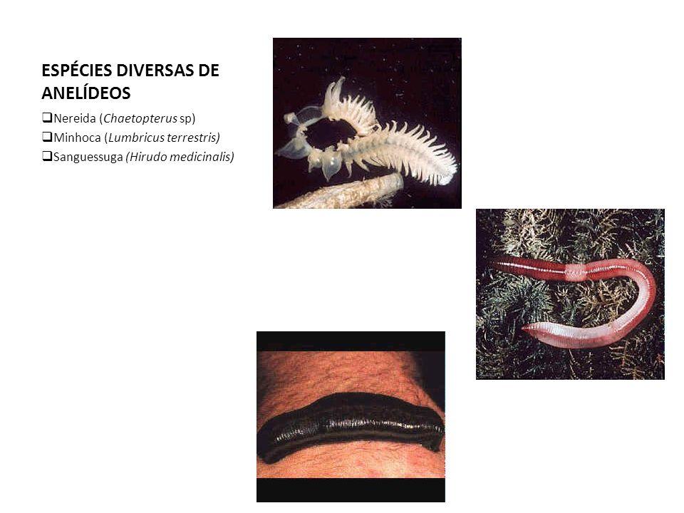ESPÉCIES DIVERSAS DE ANELÍDEOS  Nereida (Chaetopterus sp)  Minhoca (Lumbricus terrestris)  Sanguessuga (Hirudo medicinalis)