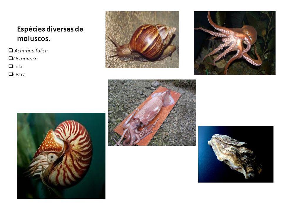 Espécies diversas de moluscos.  Achatina fulica  Octopus sp  Lula  Ostra
