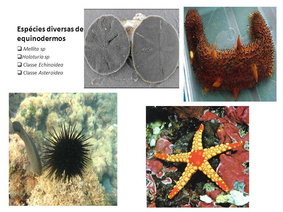 Espécies diversas de equinodermos  Mellita sp  Holoturia sp  Classe Echinoidea  Classe Asteroidea