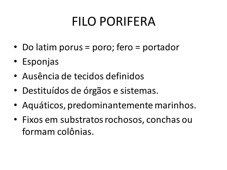 FILO PORIFERA Do latim porus = poro; fero = portador Esponjas Ausência de tecidos definidos Destituídos de órgãos e sistemas. Aquáticos, predominantem