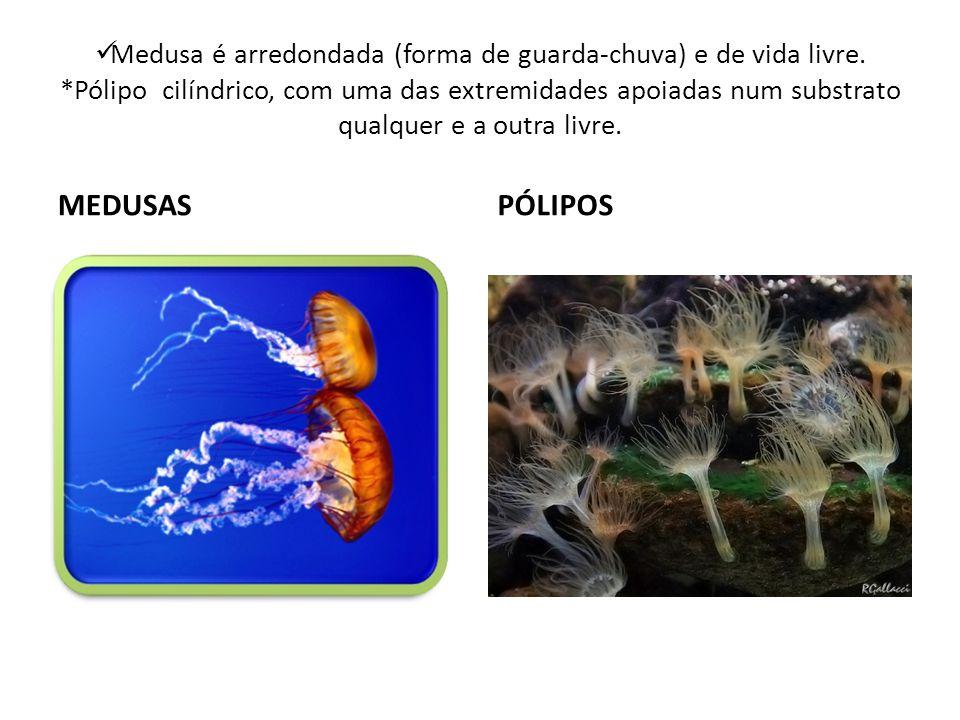 Medusa é arredondada (forma de guarda-chuva) e de vida livre. *Pólipo cilíndrico, com uma das extremidades apoiadas num substrato qualquer e a outra l