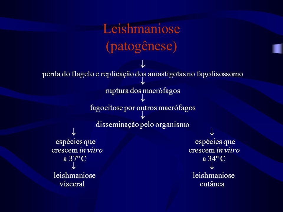 Leishmaniose (patogênese)  perda do flagelo e replicação dos amastigotas no fagolisossomo  ruptura dos macrófagos  fagocitose por outros macrófagos