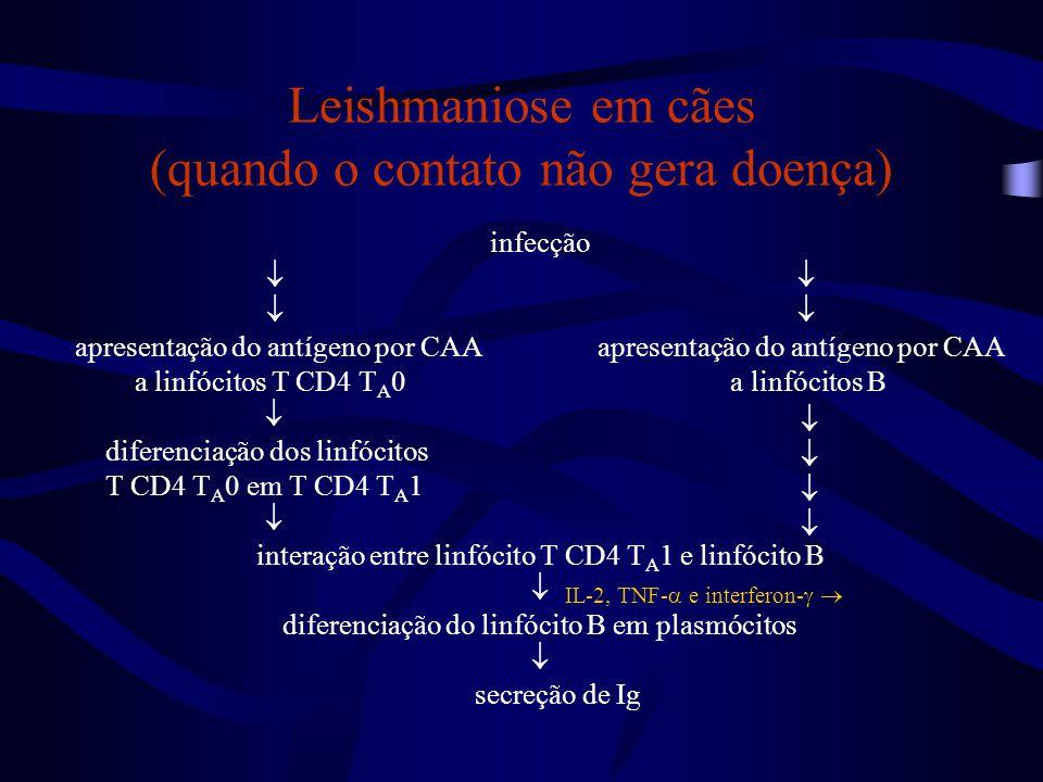 infecção  apresentação do antígeno por CAA a linfócitos T CD4 T A 0 a linfócitos B  diferenciação dos linfócitos T CD4 T A 0 em T CD4 T A 1  intera