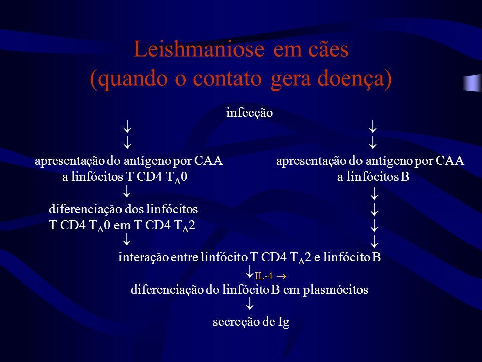infecção  apresentação do antígeno por CAA a linfócitos T CD4 T A 0 a linfócitos B  diferenciação dos linfócitos T CD4 T A 0 em T CD4 T A 2  intera