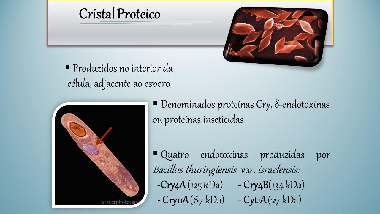 Cristal Proteico  Produzidos no interior da célula, adjacente ao esporo  Denominados proteínas Cry, δ-endotoxinas ou proteínas inseticidas  Quatro