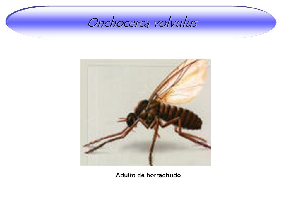 Adulto de borrachudo Onchocerca volvulus