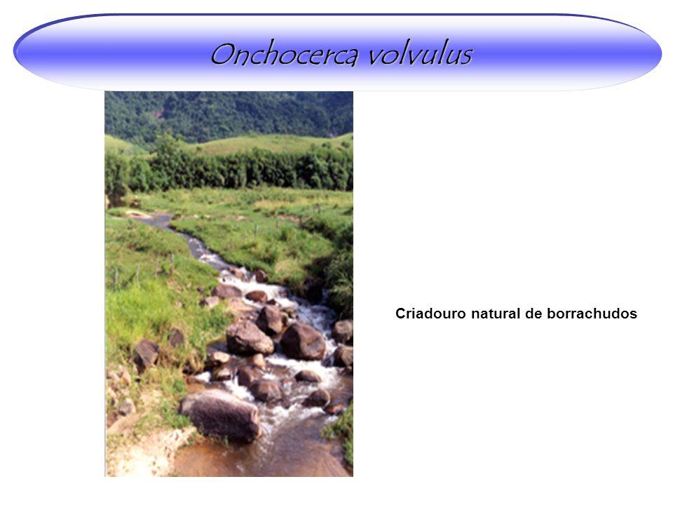 Criadouro natural de borrachudos Onchocerca volvulus