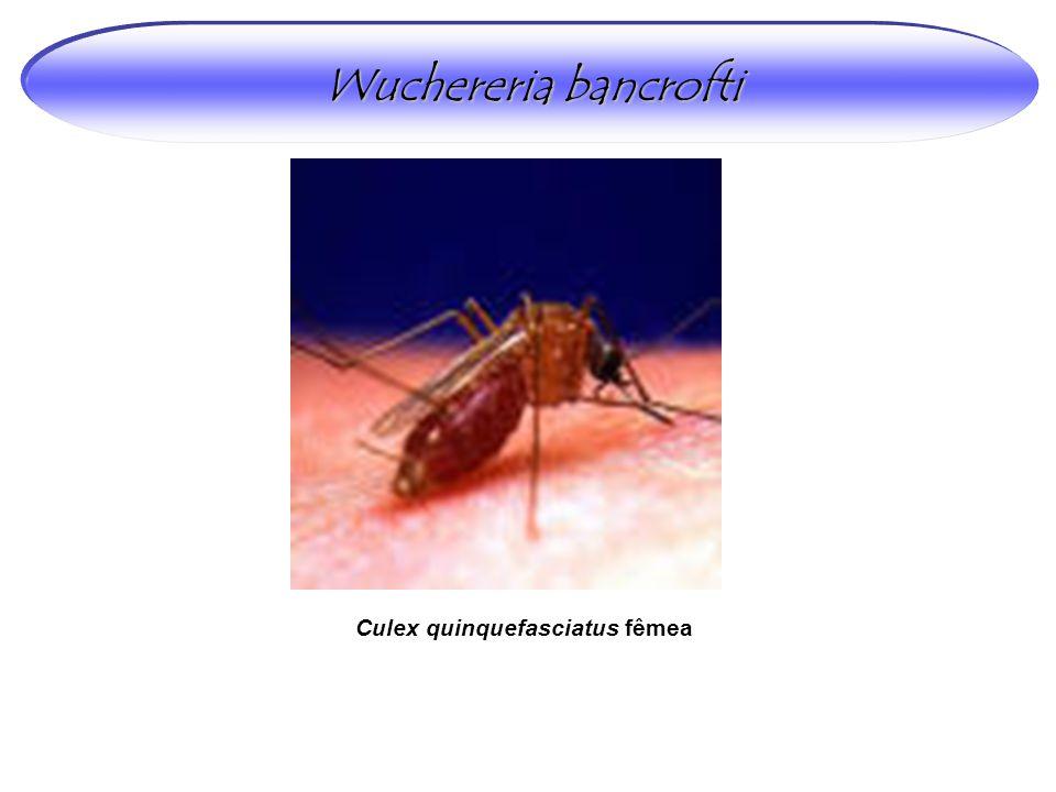 Wuchereria bancrofti Culex quinquefasciatus fêmea