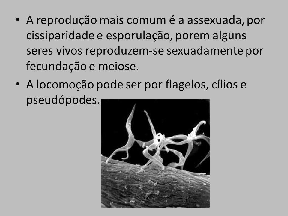 A reprodução mais comum é a assexuada, por cissiparidade e esporulação, porem alguns seres vivos reproduzem-se sexuadamente por fecundação e meiose. A