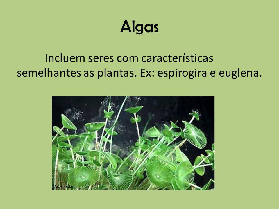 Algas Incluem seres com características semelhantes as plantas. Ex: espirogira e euglena. Acetabularia