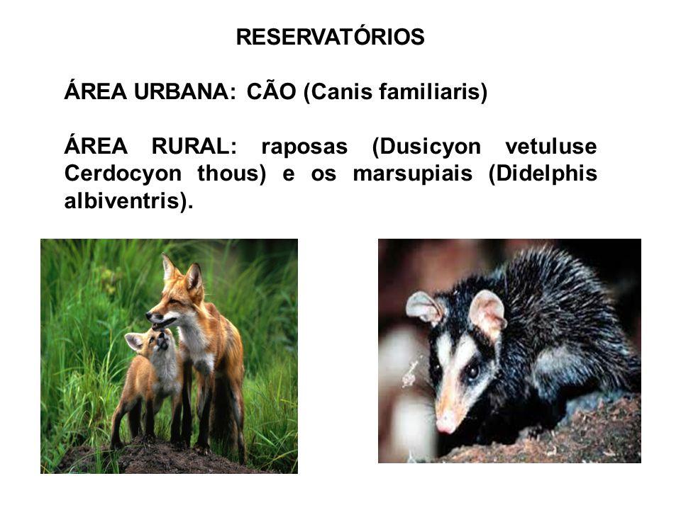 RESERVATÓRIOS ÁREA URBANA: CÃO (Canis familiaris) ÁREA RURAL: raposas (Dusicyon vetuluse Cerdocyon thous) e os marsupiais (Didelphis albiventris).