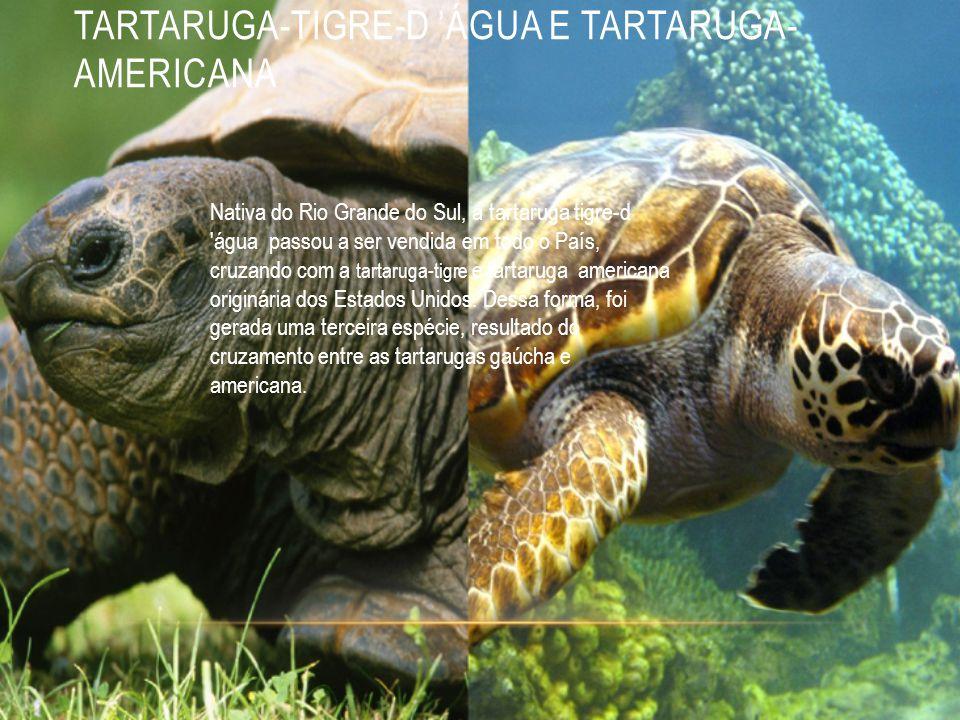 TARTARUGA-TIGRE-D 'ÁGUA E TARTARUGA- AMERICANA Nativa do Rio Grande do Sul, a tartaruga tigre-d água passou a ser vendida em todo o País, cruzando com a tartaruga-tigre e tartaruga americana originária dos Estados Unidos.