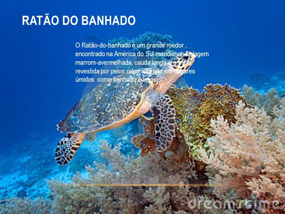 RATÃO DO BANHADO O Ratão-do-banhado é um grande roedor, encontrado na América do Sul meridional. Pelagem marrom-avermelhada, cauda longa e grossa, rev