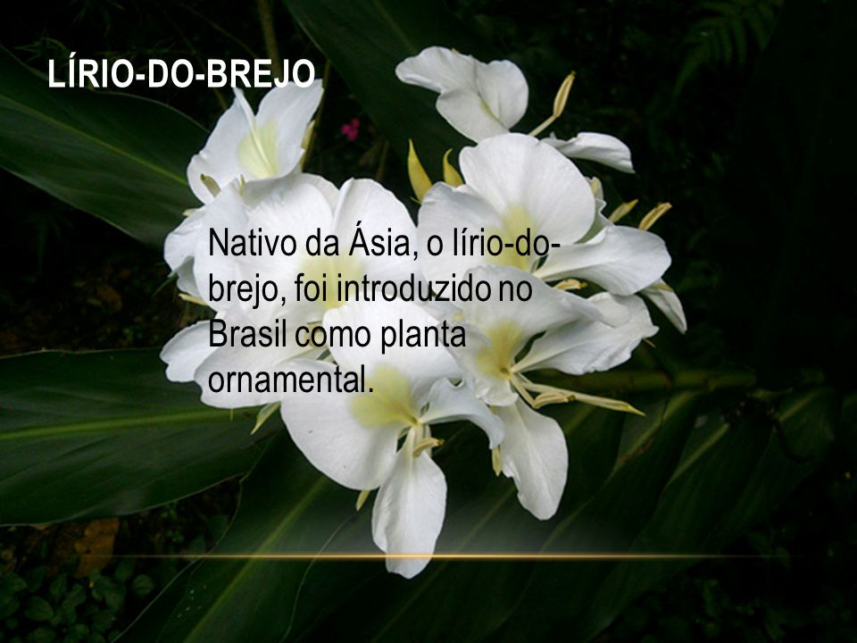 LÍRIO-DO-BREJO Nativo da Ásia, o lírio-do- brejo, foi introduzido no Brasil como planta ornamental.